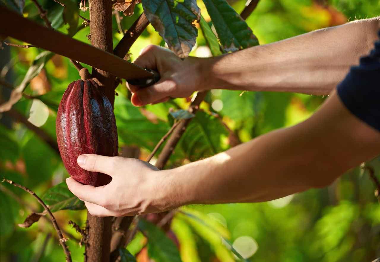Cabosse cacao taglio - Cabosse cocoa cutting - Gustorotondo - Italian food boutique