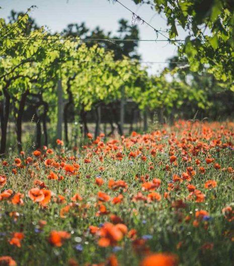 Fasoli Gino - TASI Wine - Vini TASI - Vigne - Vine - Gustorotondo - Italian food boutique