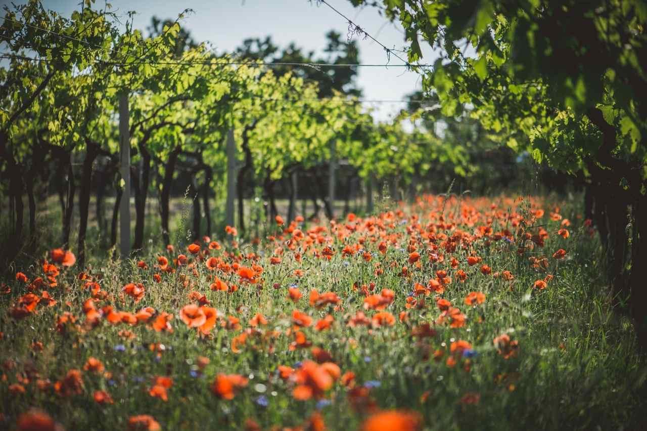 Fasoli Gino – TASI Wine – Vini TASI – Vigne – Vine – Gustorotondo – Italian food boutique