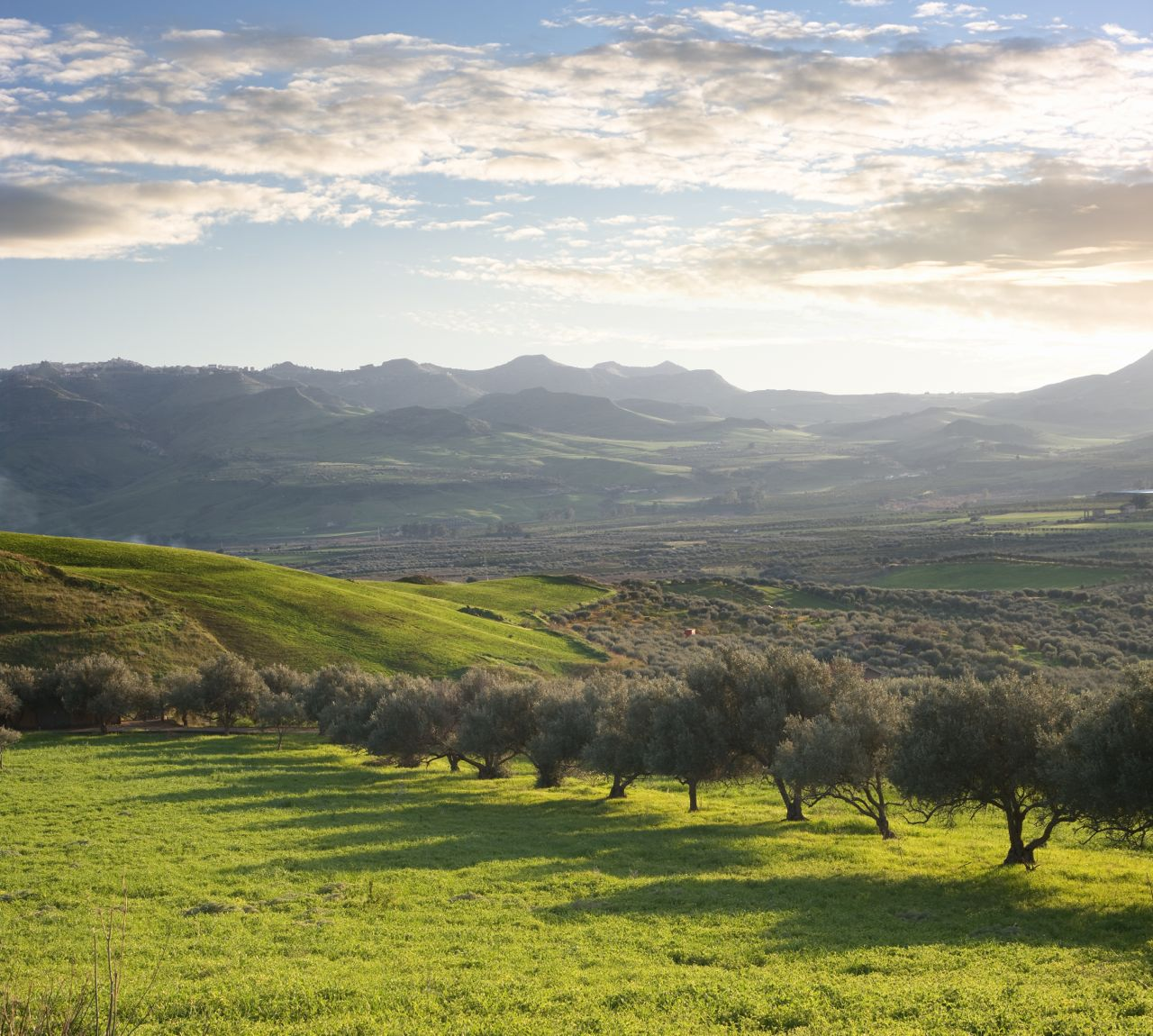 Olive trees Sicily - alberi ulivo Sicilia- Gustorotondo - Italian food boutique