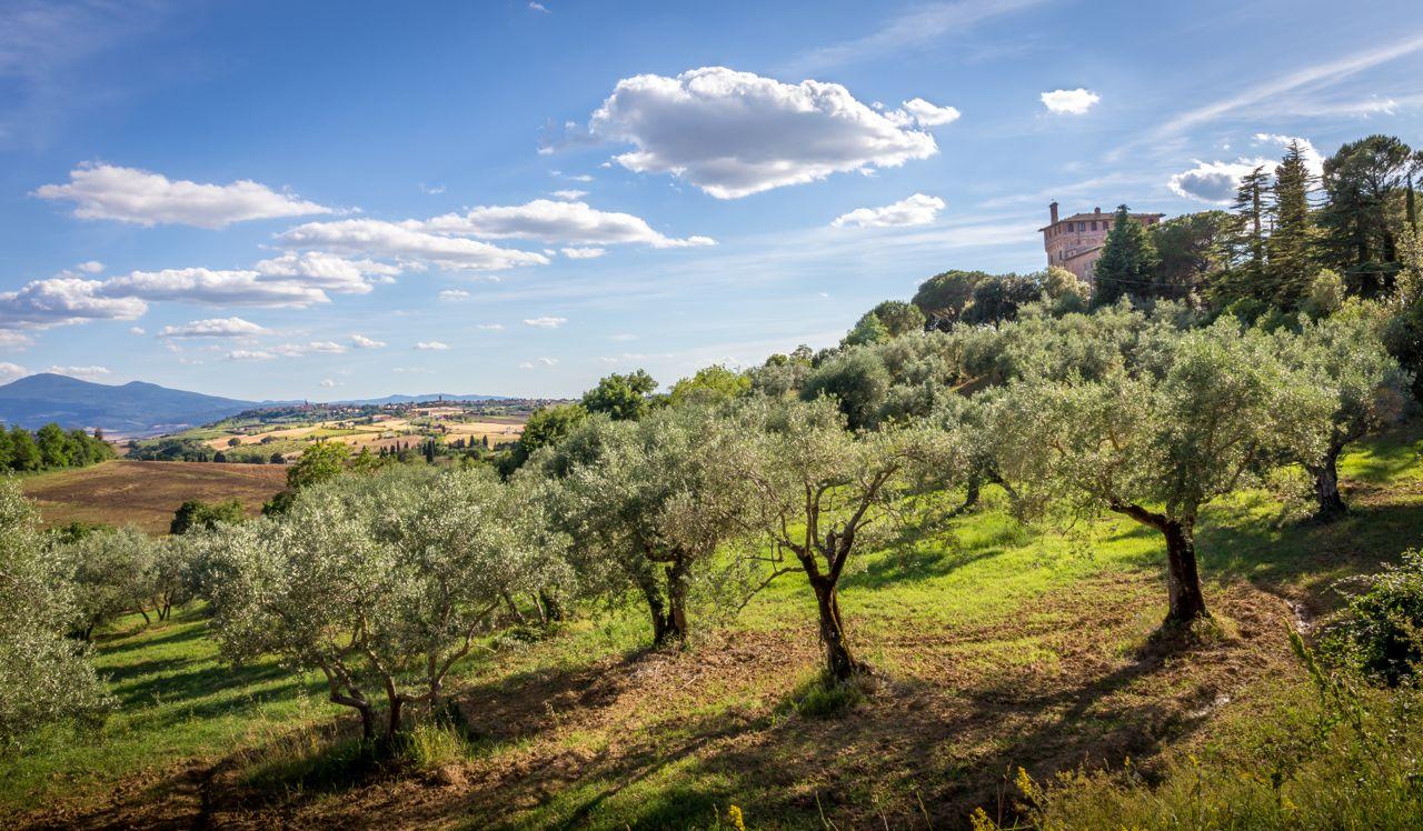 Olive trees Toscana - alberi ulivo Toscana- Gustorotondo - Italian food boutique