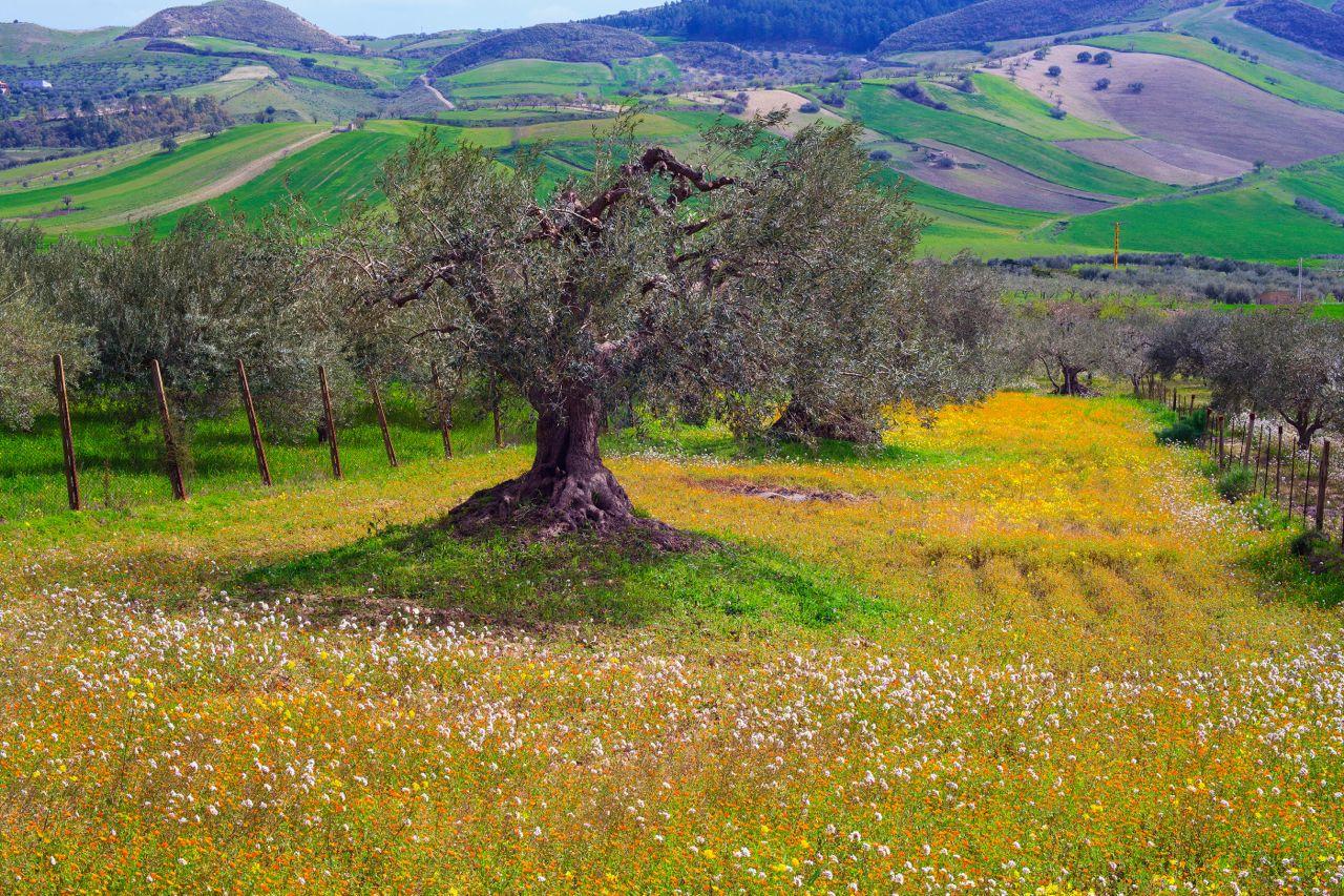 Olive tree Sicily - albero ulivo Sicilia- Gustorotondo - Italian food boutique