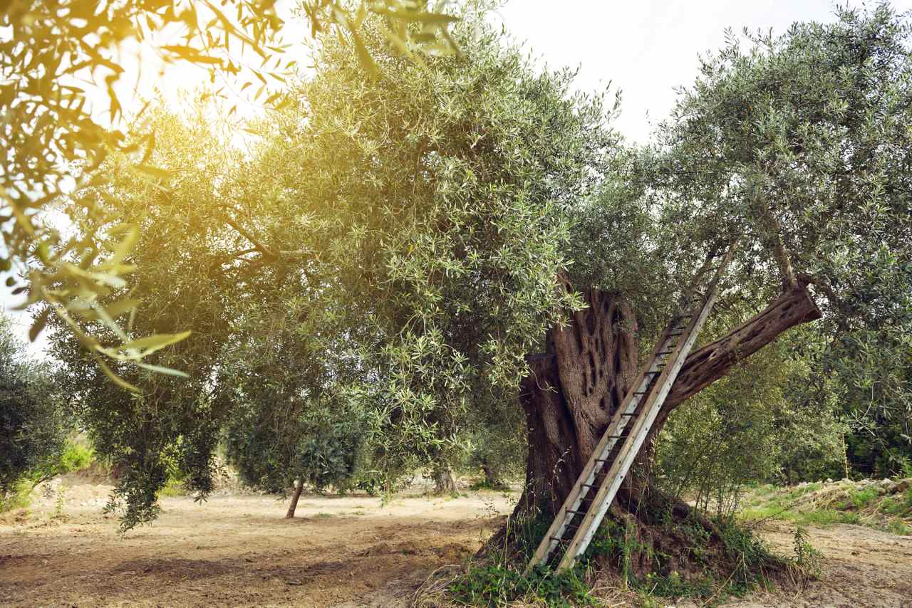 Raccolta olive - Olive harvest - Gustorotondo - Italian food boutique