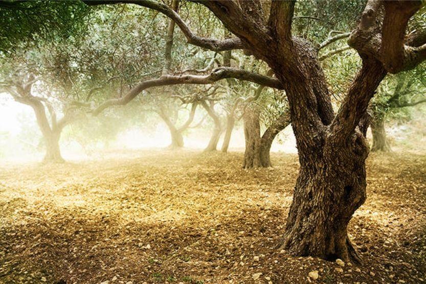 Olive trees light- Alberi olivo luce meravigliosa - Gustorotondo - Italian food boutique