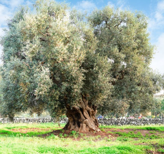 Olive Tree Apulia - Albero olivo Puglia - Gustorotondo - Italian food boutique