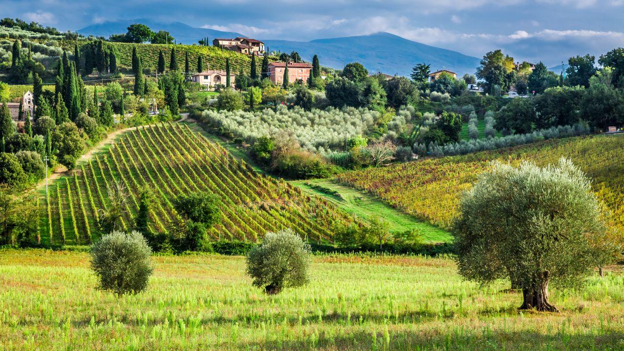 Olive trees vines Toscana - alberi ulivo viti Toscana- Gustorotondo - Italian food boutique