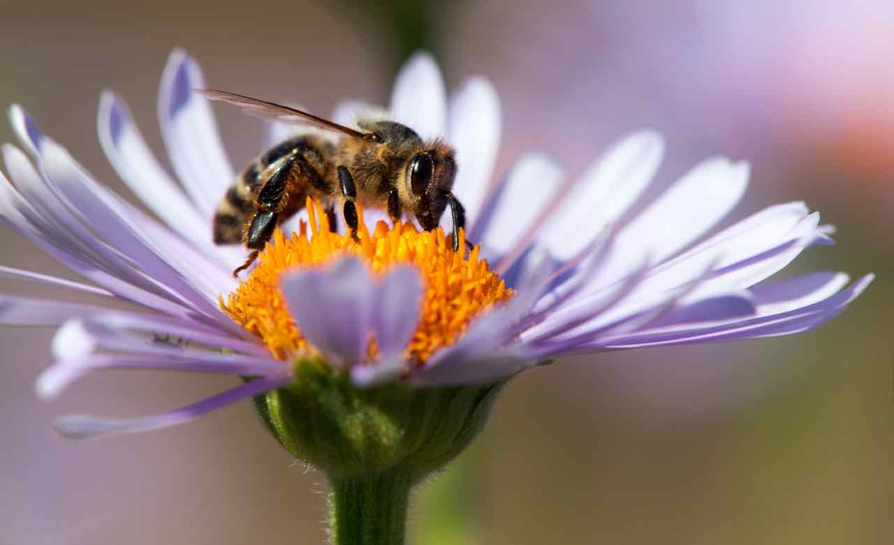 Apis mellifera su un fiore - honey bee - Gustorotondo - Italian food boutique - cibo artigianale