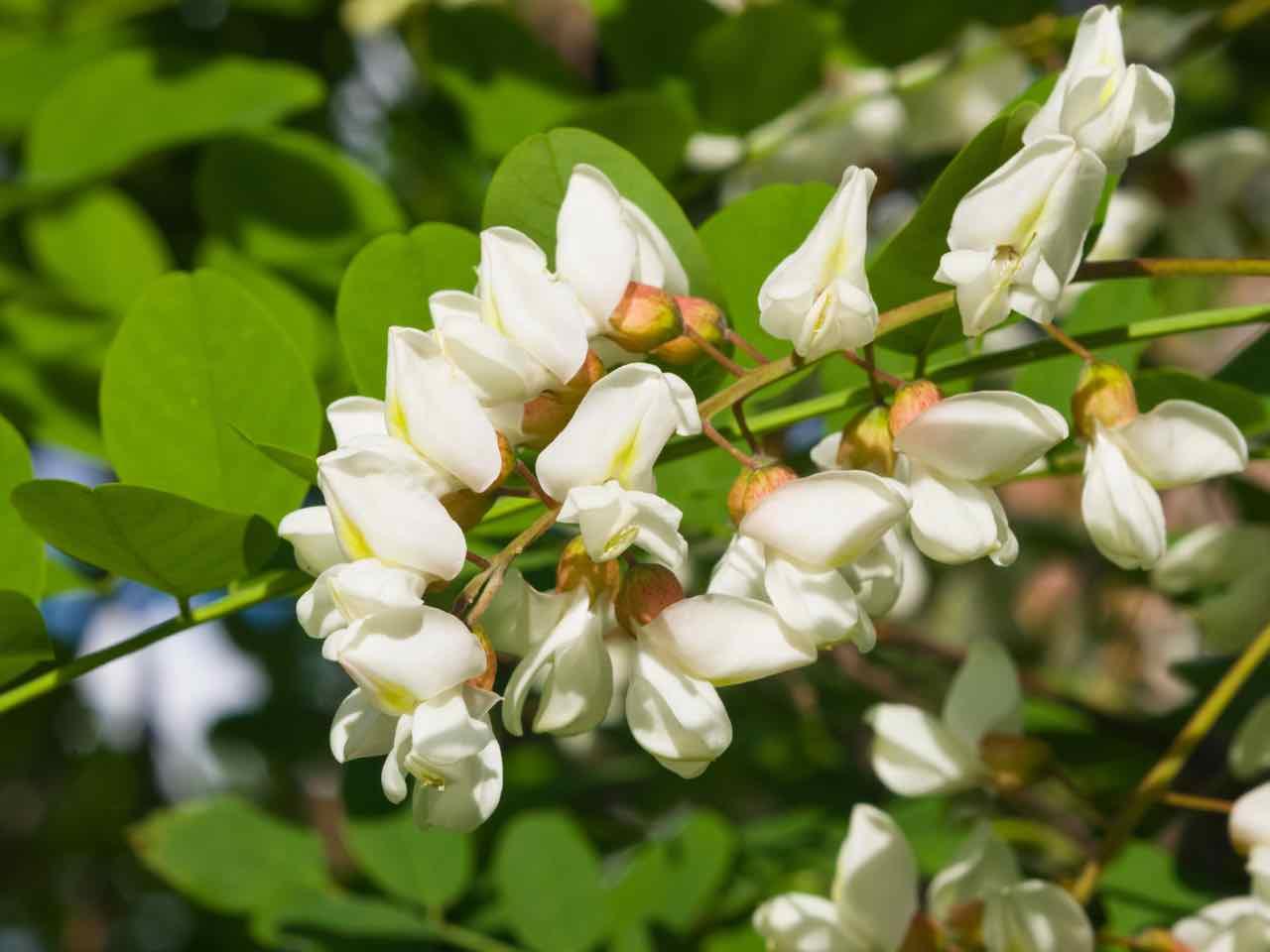 Robinia pseudoacacia - Acacia - Robinia - Black locust - Gustorotondo Italian food boutique