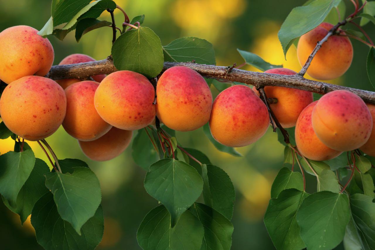 Albicocche - Apricot - Gustorotondo Italian food boutique