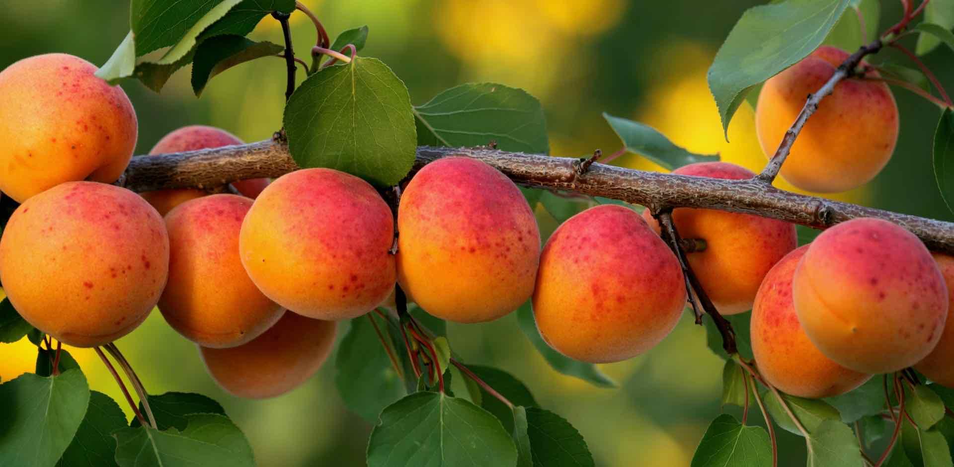 albicocche - apricots - Gustorotondo Italian food boutique - I migliori cibi online - Best Italian food online