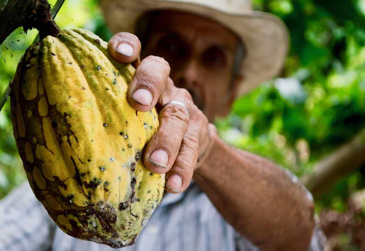 Pianta Del Cacao E Raccolta Dei Frutti Gustorotondo Online Shop
