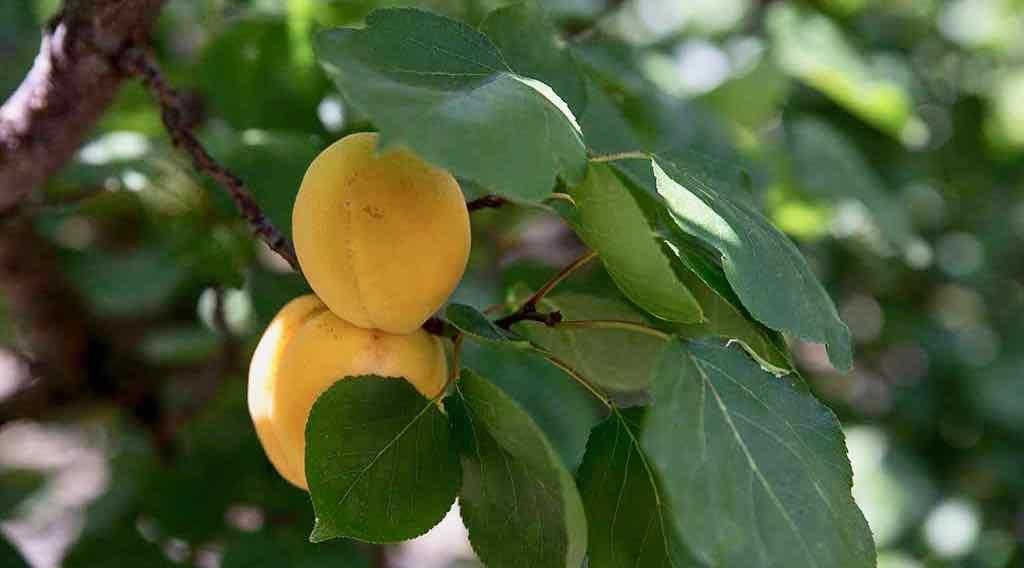 Albicocche Pellecchiella - Pellecchiella apricots - Gustorotondo Italian food boutique - I migliori cibi online - Best Italian foods online - spesa online